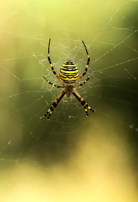 Tiger Spider Poster by Jaroslaw Blaminsky