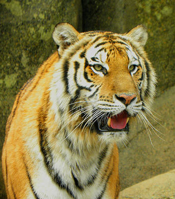 Poster featuring the photograph Tiger Stare by Sandi OReilly