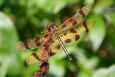 Tiger Striped Dragonfly Poster by Anne Babineau