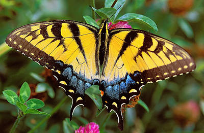 Tiger Swallowtail Poster by Alan Lenk
