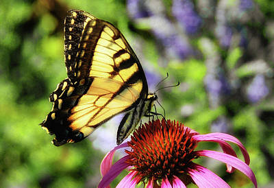 Poster featuring the photograph Tiger Swallowtail by Elaine Manley
