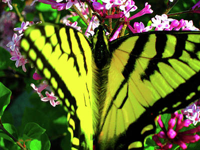Tiger Swallowtail On Lilac Poster by Randy Rosenberger