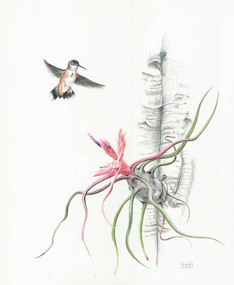 Tillandsia Bulbosa With Hummingbird Poster