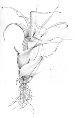 Tillandsia Flexuosa Poster