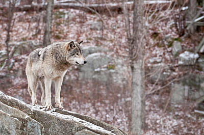 Timber Wolf On Rocks Poster by Michael Cummings