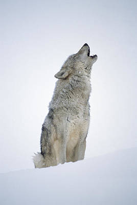 Timber Wolf Portrait Howling In Snow Poster