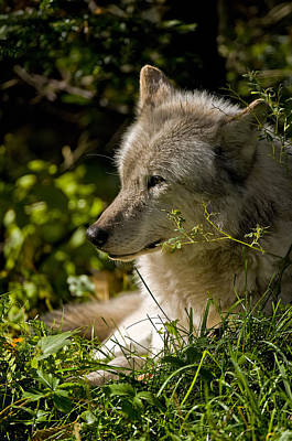 Poster featuring the photograph Timber Wolf Portrait by Michael Cummings
