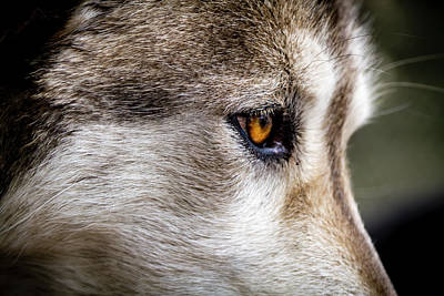 Poster featuring the photograph Timber Wolf Stare by Teri Virbickis