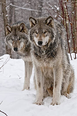 Timber Wolves In Winter Poster by Michael Cummings