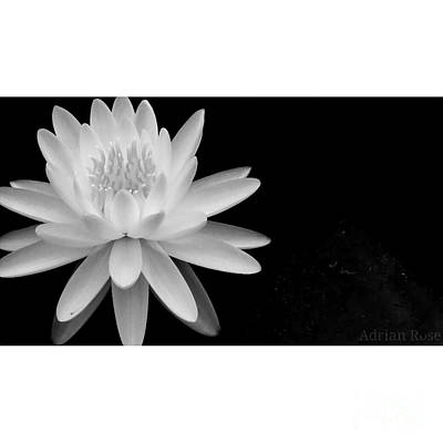 Black And White -timeless Lily Poster