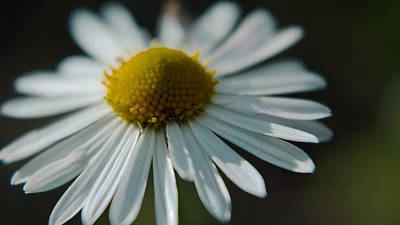 Poster featuring the photograph Tiny Daisy Wild Flower by Karen Musick