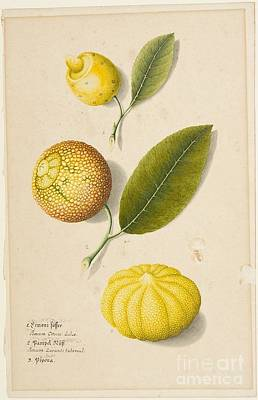 Title Plant Study Sweet Lemon Poster by MotionAge Designs