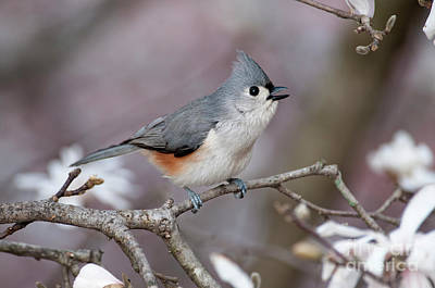 Poster featuring the photograph Titmouse Song - D010023 by Daniel Dempster