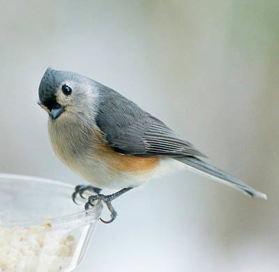 Titmouse With Walnuts Poster