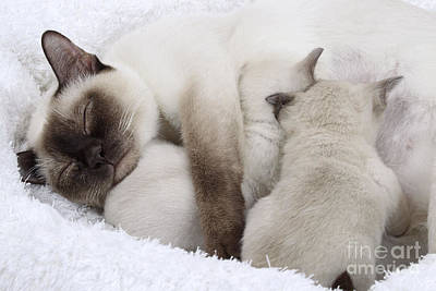 Tonkinese Cat And Kittens Poster