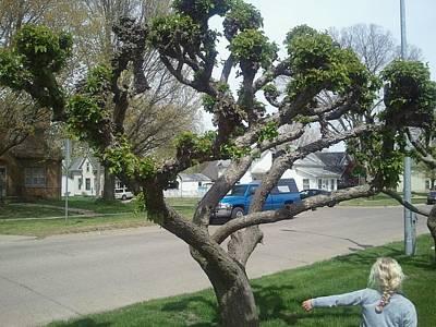 Topiary Pella Tree Poster