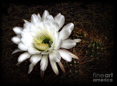 Torch Cactus - Echinopsis Candicans Poster