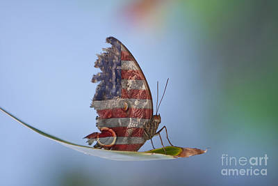 Torn American Butterfly Poster by James BO  Insogna