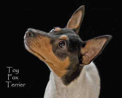 Toy Fox Terrier Poster by Larry Linton