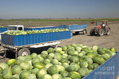 Trailers Full Of Watermelons Poster by Inga Spence