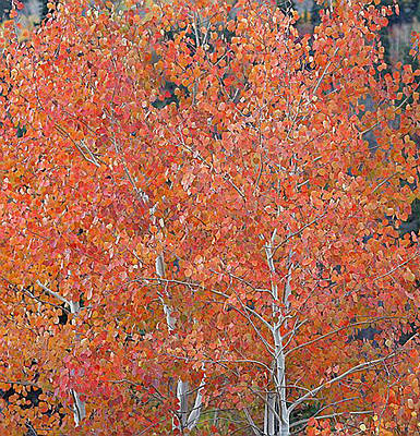 Translucent Aspen Orange Poster