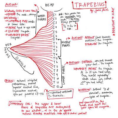 Trapezius Poster