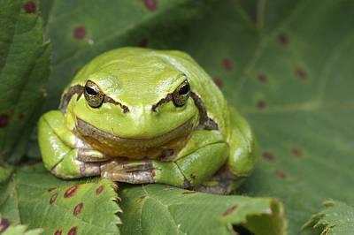 Tree Frog En Face Poster by Roeselien Raimond