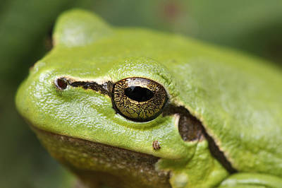 Tree Frog Portrait Poster by Roeselien Raimond