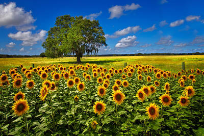 Tree In The Sunflower Field Poster by Debra and Dave Vanderlaan