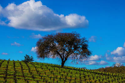 Tree In Vineyard With Clouds Poster