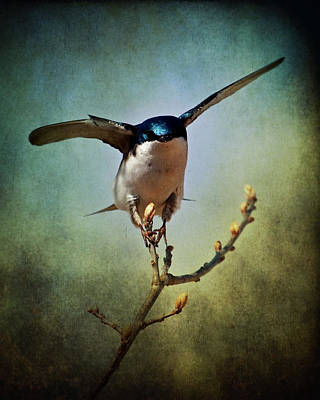 Tree Swallow 2 Poster