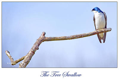 Tree Swallow On Branch Poster