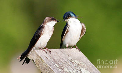 Tree Swallows Poster by Debbie Parker