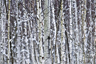 Tree Trunks Covered With Snow In Winter Poster