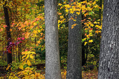 Tree Trunks In Autumn Poster