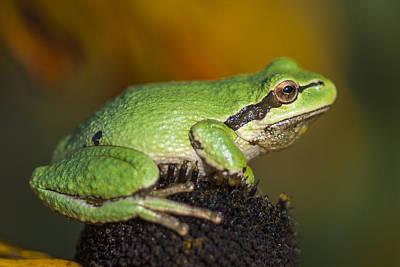 Treefrog On Rudbeckia Poster
