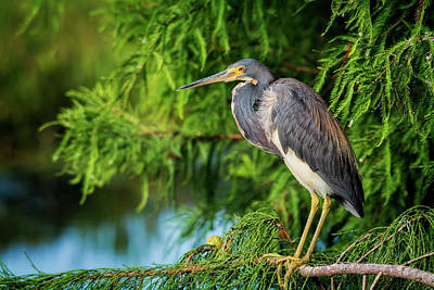 Tri-colored Heron At Sunset  Poster