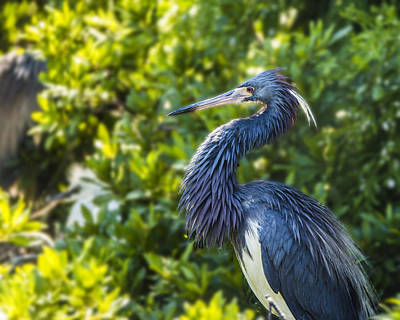 Poster featuring the photograph Tri-colored Heron Plumage by Paula Porterfield-Izzo