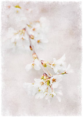 Triadelphia Cherry Blossoms Poster