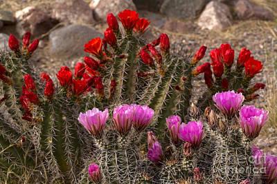 Trichocereus Hybrid Or Torch Cacti Poster