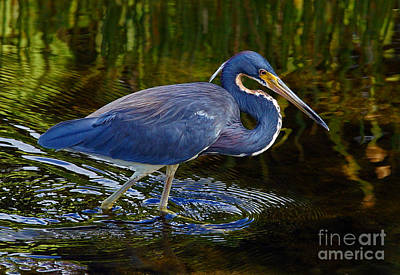 Tricolor Heron Poster
