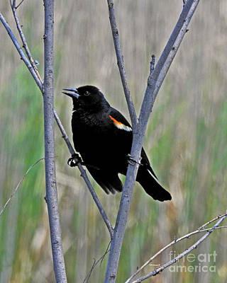 Tricolored Blackbird Poster