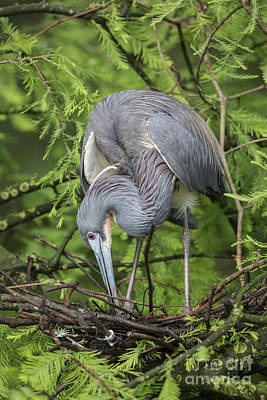 Tricolored Heron At  Nest Poster by Maria  Struss