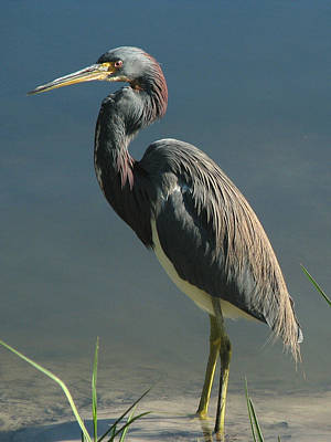 Tricolored Heron Poster