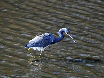 Tricolored Heron Wading Poster