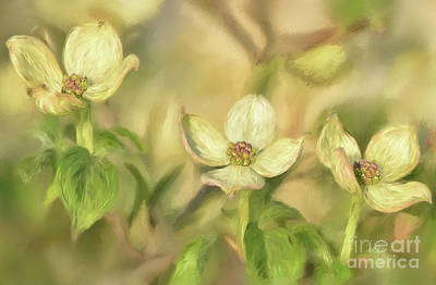 Poster featuring the digital art Triple Dogwood Blossoms In Evening Light by Lois Bryan