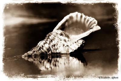 Triton's Trumpet Seashell Sepia Poster by Elizabeth Abbott