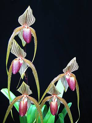 Tropical Lady Slipper 2 Poster