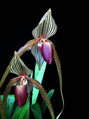 Tropical Lady Slipper Poster