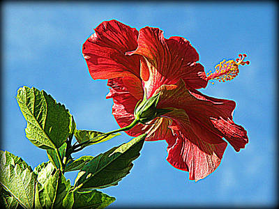 Tropical Red Hibiscus  Poster